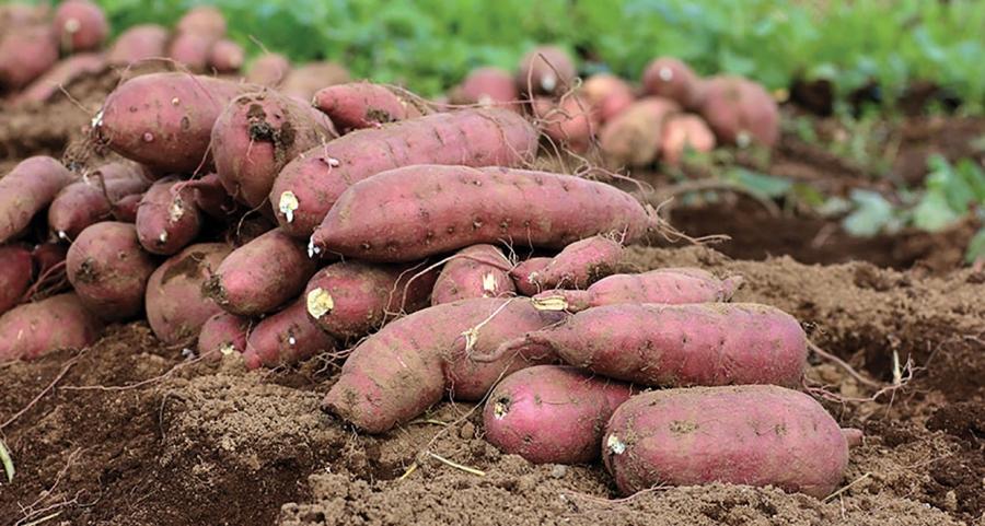 Tot ce trebuie sa stii despre cartoful dulce