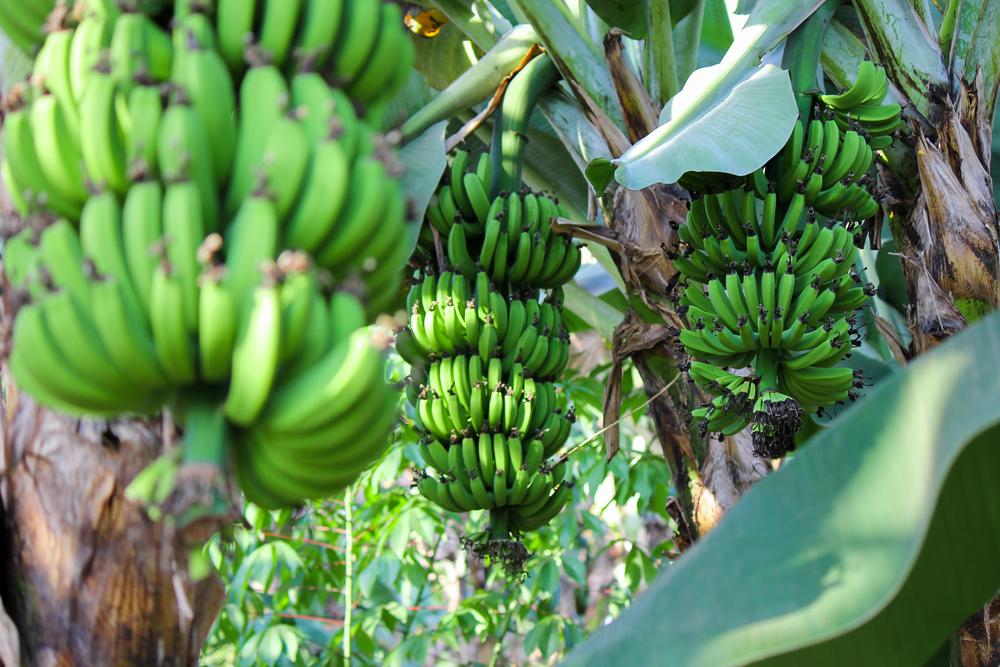 Cunosti beneficiile bananelor verzi