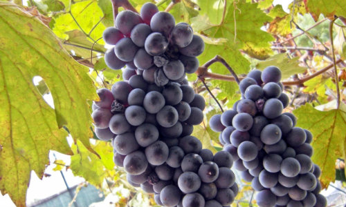 Fructe cu efect anticancerigen